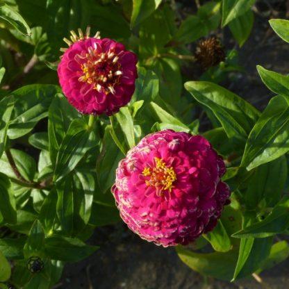 Fleurs Zinnias